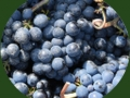 Pinot-noir-raisin